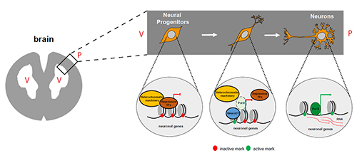 Figure 2: Diagram showing how NeuroD1 influences the development of neurons. During brain development, expression of NeuroD1 marks the onset of neurogenesis. NeuroD1 accomplishes this via epigenetic reprogramming: neuronal genes are switched on, and the cells develop into neurons. TF: transcription factor; V: ventricle; P: pial surface. [A. Pataskar, J. Jung, V. Tiwari]