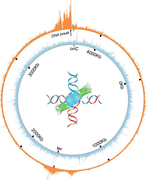The orange wheel shows the circular chromosome or genome of <i>E. coli</i> bacteria. The spikes indicate where a molecular intermediate in DNA repair—four-way structures called Holliday junctions—accumulate near a repairable double-strand break in the genome. Holliday junctions, it has been demonstrated, are subject to trapping, mapping, and quantification by engineered proteins. [Jun Xia and Qian Mei/Baylor College of Medicine]&#8221; width=&#8221;60%&#8221; height=&#8221;60%&#8221; /><br /> <span class=