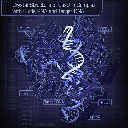 Crystal structure of Cas9 in complex with guide RNA and target DNA. [Hiroshi Nishimasu et al./Wikipedia]