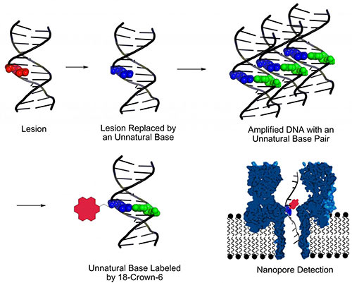 A new method for identifying DNA lesions combines several techniques. First, base excision repair is used to cut out lesions. Second, an unnatural base pair is inserted at the lesion sites. Third, PCR is used to amplify DNA strands that carry unnatural bases. Fourth, unnatural bases are labeled with 18-crown-6 ether, which facilitates detection of DNA damage by means of nanopore sequencing. [Aaron Fleming, University of Utah]