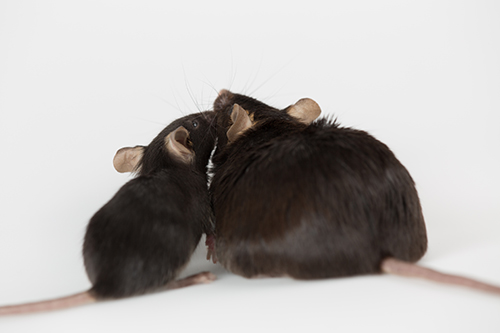 A new study has discovered a mechanism in the mouse brain that regulates obesity. [Georgejason/Getty Images]