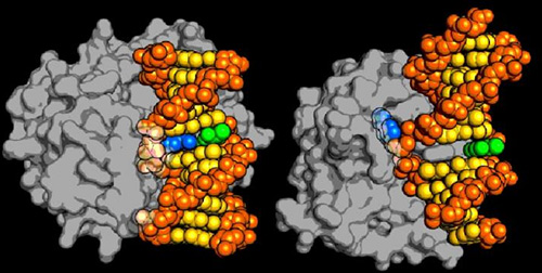The new type of DNA repair enzyme, AlkD on the left, can identify and remove a damaged DNA base without forcing it to physically