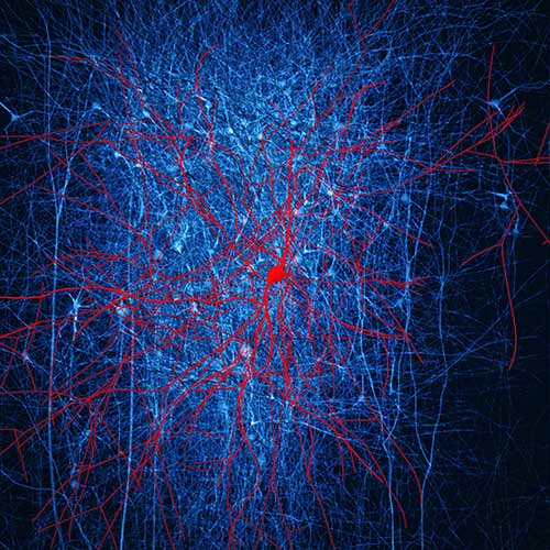 In this depiction of in silico retrograde staining, a digital reconstruction of neocortical microcircuitry, the presynaptic neurons of a layer 2/3 nest basket cell (red) are stained in blue. Only immediate neighboring presynaptic neurons are shown. [© BBP/EPFL 2015]