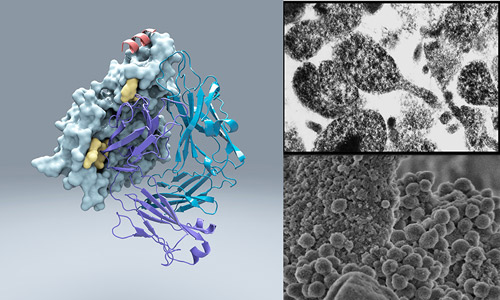 Scientists from Scripps have discovered an unusual bacterial protein that attaches to virtually any antibody