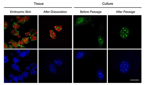 Mouse skin cells before and after cell culture show a major loss of red staining for 5-hydroxymethylcytosine (5hmC) [S. Pennings lab]