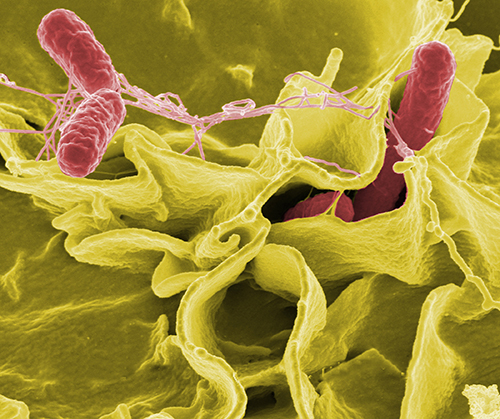 """Color-enhanced scanning electron micrograph of <i>Salmonella</i> strain (red) in cultured human cells (yellow). [Source: NIAID]"""" width=""""60%"""" height=""""60%"""" /><br /> <span class="""