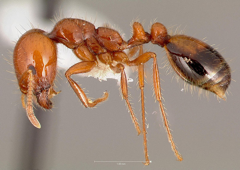 Compounds derived from solenopsin, the toxic constituent of fire ant venom, helped to reduce skin thickening and inflammation in a mouse model of psoriasis. [antweb.org]