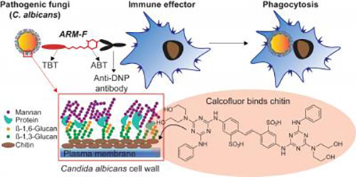 The immunotherapeutic action of bifunctional small molecules