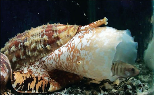 """Image of a predatory marine snail, <i>Conus geographus</i>, hunting a fish. The snail relies on fast-acting venom to subdue its prey, which enters hypoglycemic sedation due to one of the venom's components, a streamlined version of insulin. Recently determined structural details of the snail's insulin may lead to exceptionally fast-acting therapeutics for controlling diabetes. [Baldomero Olivera]"""" width=""""60%"""" height=""""60%"""" /><br /> <span class="""