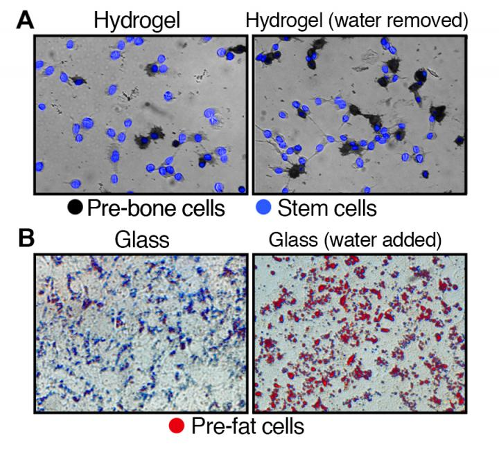 (A) Development of stem cells on hydrogel, a soft substrate, to pre-bone cells after the removal of water. (B) Development of stem cells on glass, a hard substrate, to pre-fat cells after the addition of water. [Harvard T.H. Chan School of Public Health researchers]