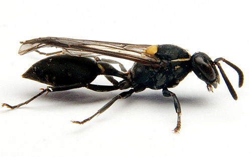 This is the Brazilain social wasp Polybia paulista. Scientists have discovered that this wasp's venom disrupts cancer membranes creating gaping  holes that allow molecules crucial for cell function to leak out. [Prof. Mario Palma/Sao Paulo State University]