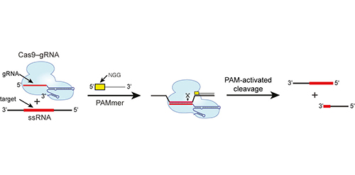 Schematic showing how RNA-guided Cas9 working with PAM-presenting oligonucleotides (PAMmer) can target single-stranded RNA (ssRNA) for programmable