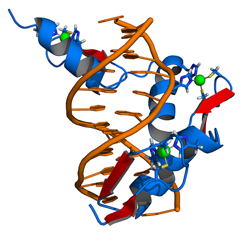 Model of zinc finger proteins binding to their target DNA (orange). [Thomas Splettstoesser (www.scistyle.com),via Wikimedia Commons]