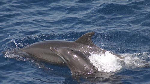 Dolphin proteins may help researchers find a way to protect humans' kidneys during a heart attack, stroke, or acute kidney injury. [NOAA]