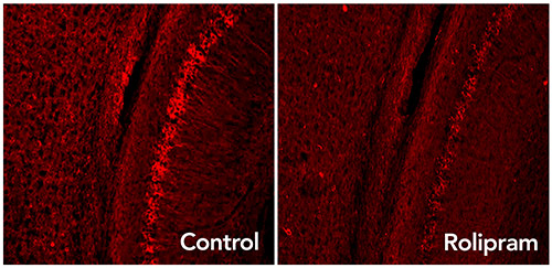 Rolipram activates the brain's garbage disposal system, eliminating excess tau proteins (glowing red dots) associated with neurodegenerative diseases such as Alzheimer's disease. [Laboratory of Karen Duff/CUMC]