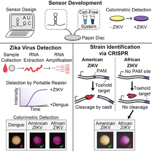 A new diagnostic platform utilizing biomolecular sensors and CRISPR-based technology allows rapid, specific, and low-cost detection of the Zika virus. [Pardee et al., 2016, Cell 165, 1–12]