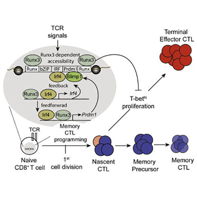 Newly uncovered pathway leading to the development of memory T cells. [Immunity