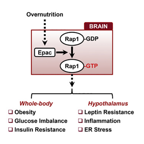 The scientists have shown a new mechanism by which the brain can regulate the development of obesity triggered by consuming a high-fat diet. Consuming a high-fat diet results in changes in the brain that increase Rap1 activity, which in turn leads to a decreased sensitivity to leptin, and this sets the body on a path to obesity. [Courtesy M. Fukuda/Cell Reports]