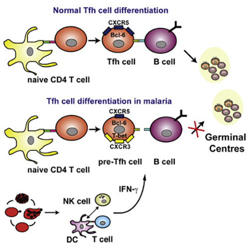 A new report finds that severe malaria infection impairs germinal center responses by inhibiting T-helper cell differentiation. The same pro-inflammatory responses that drive malarial pathogenesis were found to mediate the inhibition of B-cell-mediated immunity. [Ryg-Cornejo et al., 2016, Cell Reports 14, 1–14]
