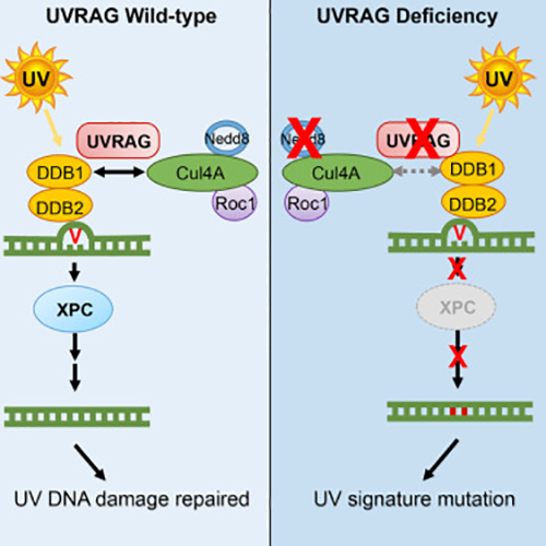 The researchers found that UVRAG is involved in the multistep DNA cell-repair process. [Molecular Cell, Volume 62, Issue 4, May 19, 2016]