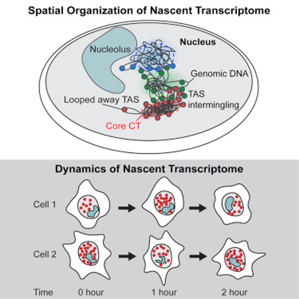 """Intron seqFISH allows <i>in situ</i> visualization of nascent transcription in single cells. Transcriptionally active loci are positioned at the surface of chromosome territories. The nascent transcriptome oscillates asynchronously with a 2-hour period  in many cells. [Cell, 2018]"""" width=""""60%"""" height=""""60%"""" /><br /> <span class="""