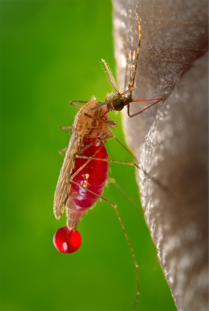 Malaria is a parasitic disease spread through though the bite of the female Anopheles mosquito. [Pixabay]