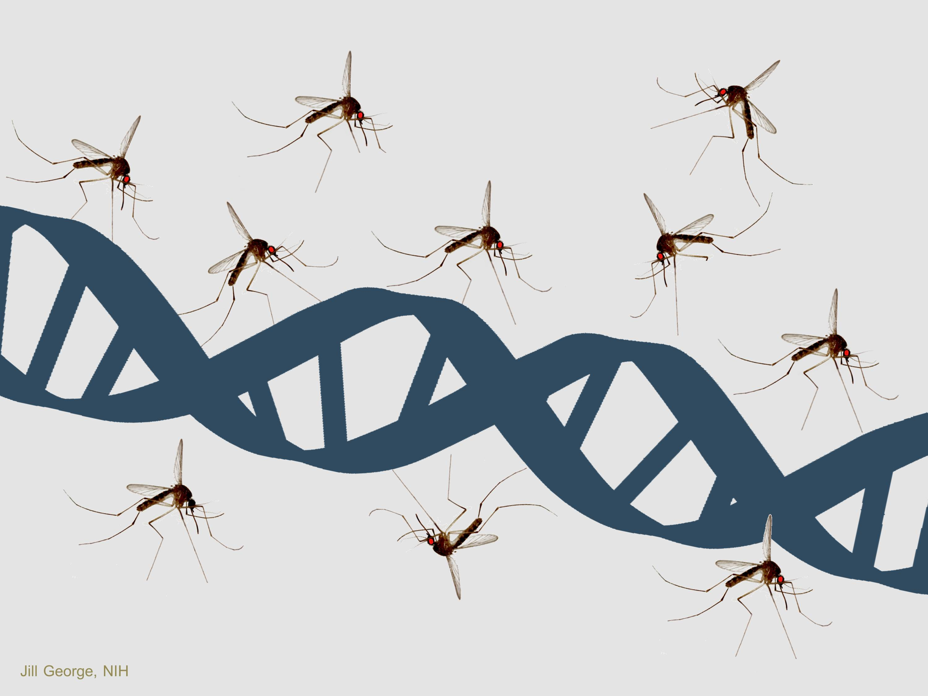 Scientists at UC Berkeley and UC Riverside have demonstrated a way to edit the genome of disease-carrying mosquitoes that brings us closer to suppressing them on a continental scale. [NIH]
