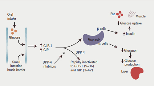 Glucagon-Like Peptide 1 (GLP-1) in the Treatment of Diabetes