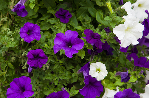 White and purple petunia flowers close up