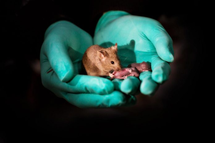 This image shows a healthy adult bimaternal mouse (born to two mothers) with offspring of her own. [Leyun Wang]