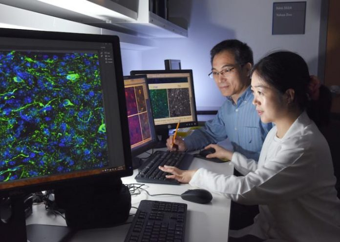 UT Southwestern researchers reprogrammed mature inhibitory neurons into a different type of neuron that creates the neurotransmitter lost in Parkinson's disease.