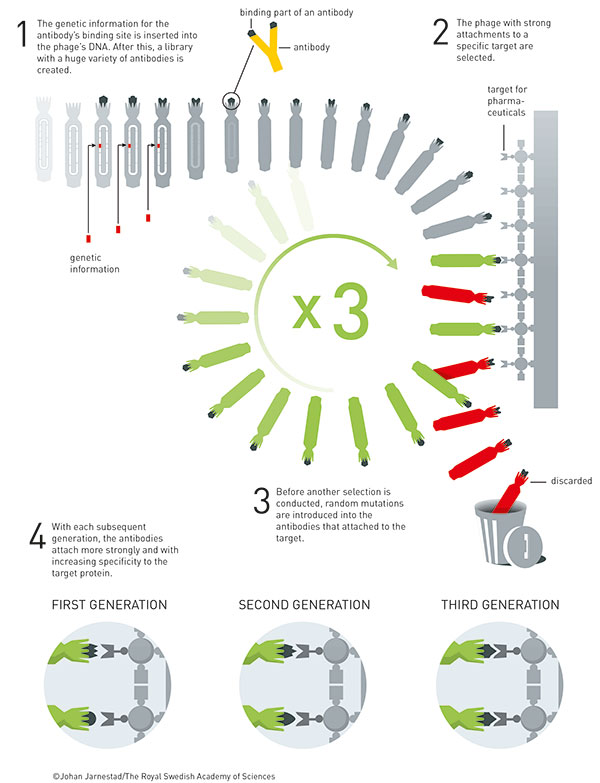 The principle for the directed evolution of antibodies using phage display. This method is used to produce new pharmaceuticals. [Johan Jarnestad/The Royal Swedish Academy of Sciences]