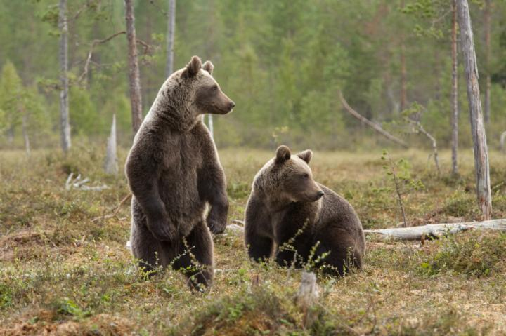 Technology discovered that rapidly assesses potentially lifesaving antibiotics by using bacteria in saliva from an East Siberian brown bear. [Bear Conservation]