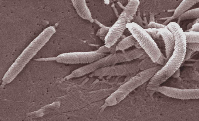 <em>H. pylori</em> is a spiral-shaped bacterium that grows in the mucus layer that coats the inside of the human stomach and causes ulcers. [CDC]