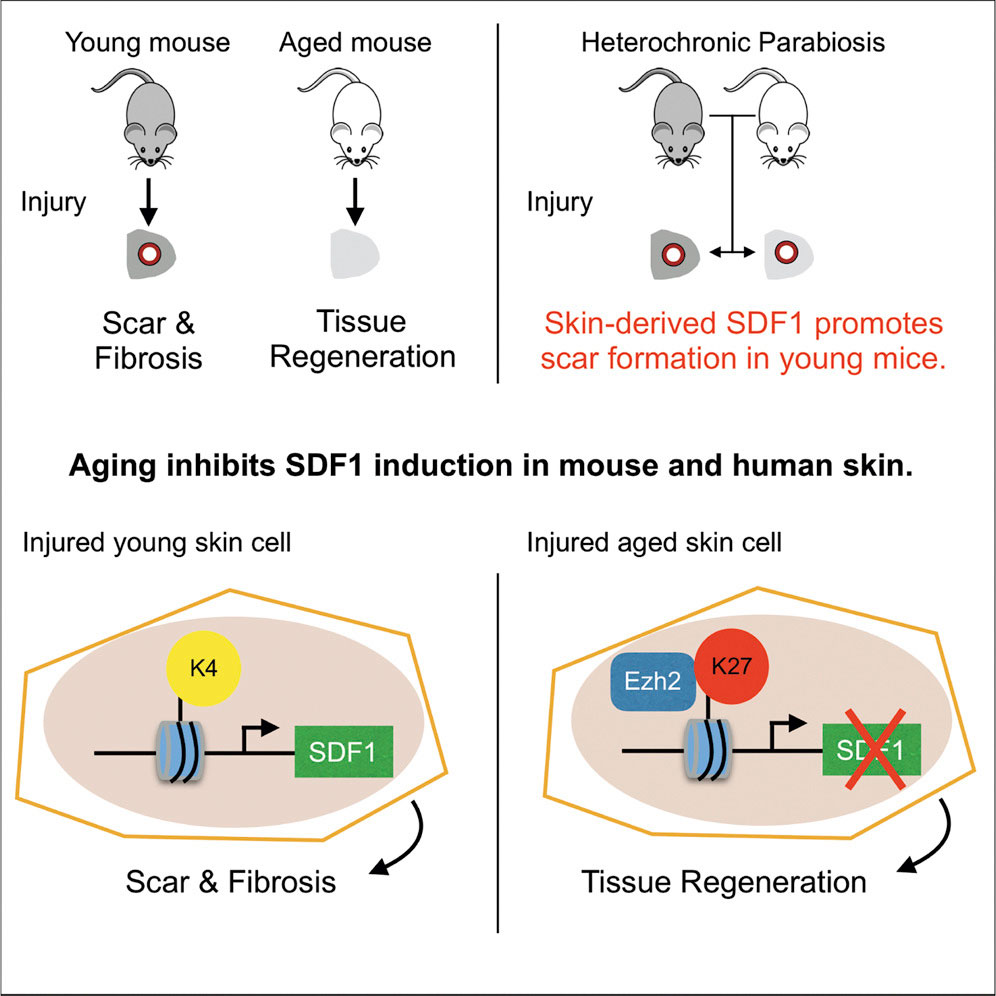 Aging promotes reduced scarring in mouse skin