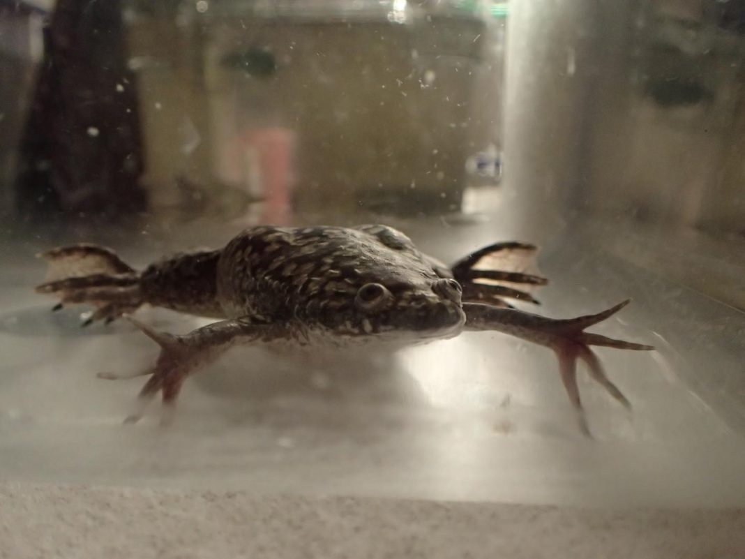 Xenopus laevis in a tank
