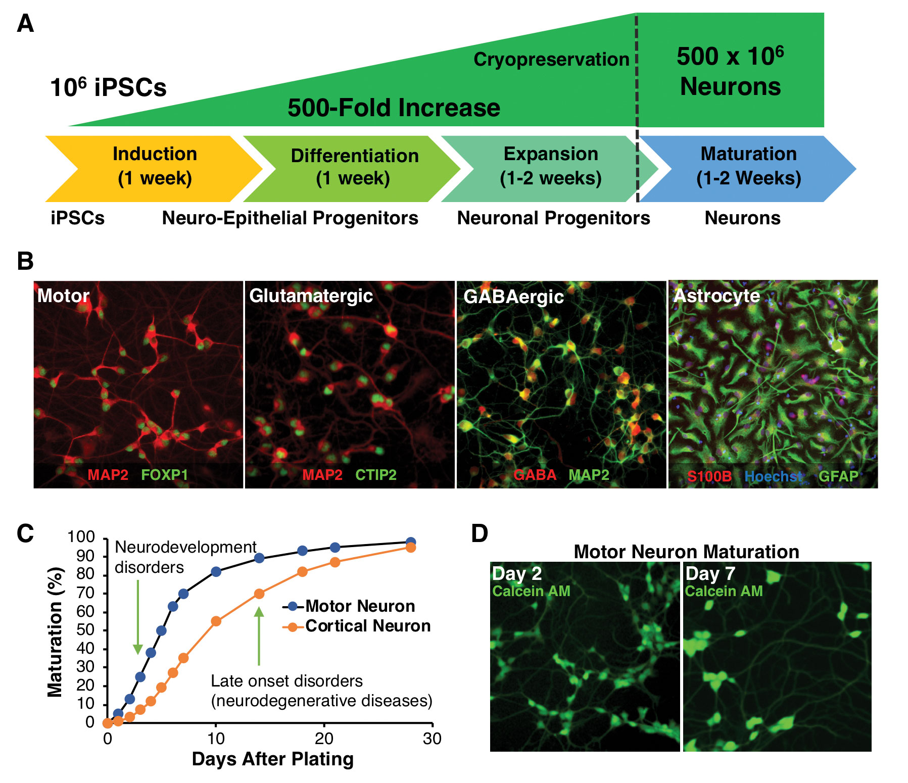 Research Identifies Complex Of Neurons >> Cns Drug Discovery Using Ipsc Derived Neurons