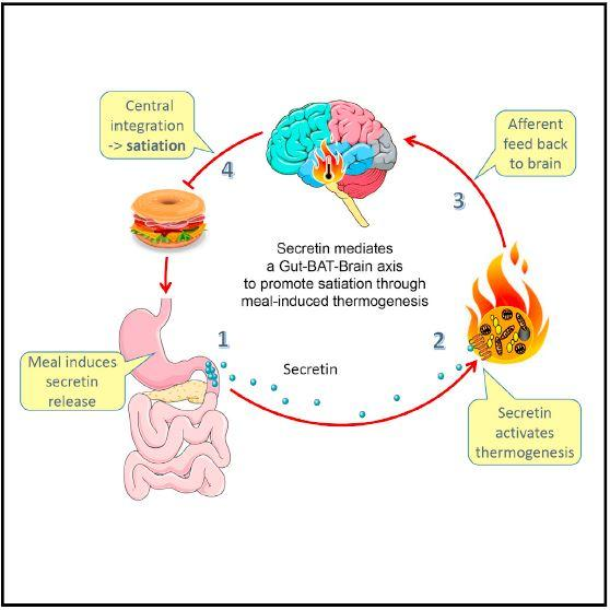 The secretin signaling pathway for satiation.