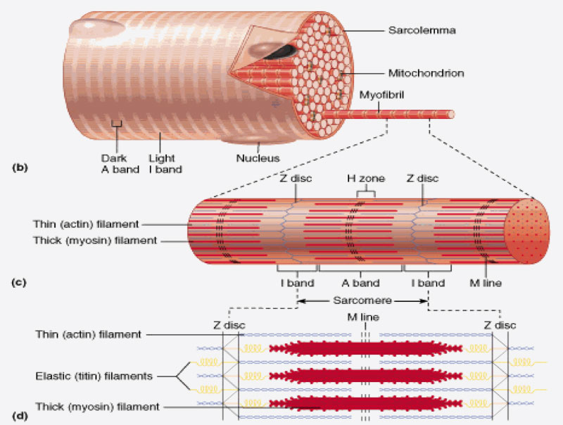 Amyloid/Muscle