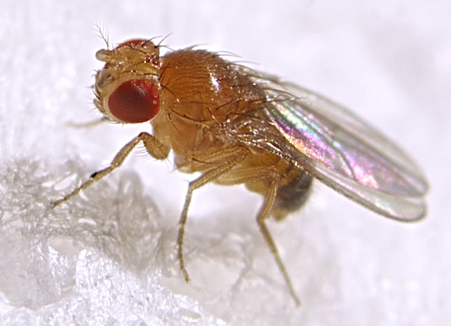 How Fruit Flies Became our Bothersome Roommates
