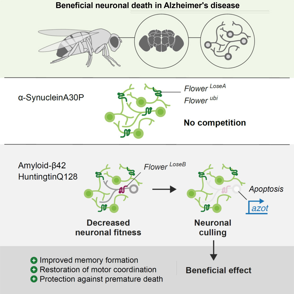 Beneficial neuronal death in Alzheimer's disease graphical abstract