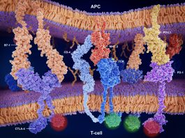 Activation/inhibition of the immune response on T-cells through the T-cell receptor, CD4, B7-1, CD28, CTLA-4, PD-L1 and PD-1