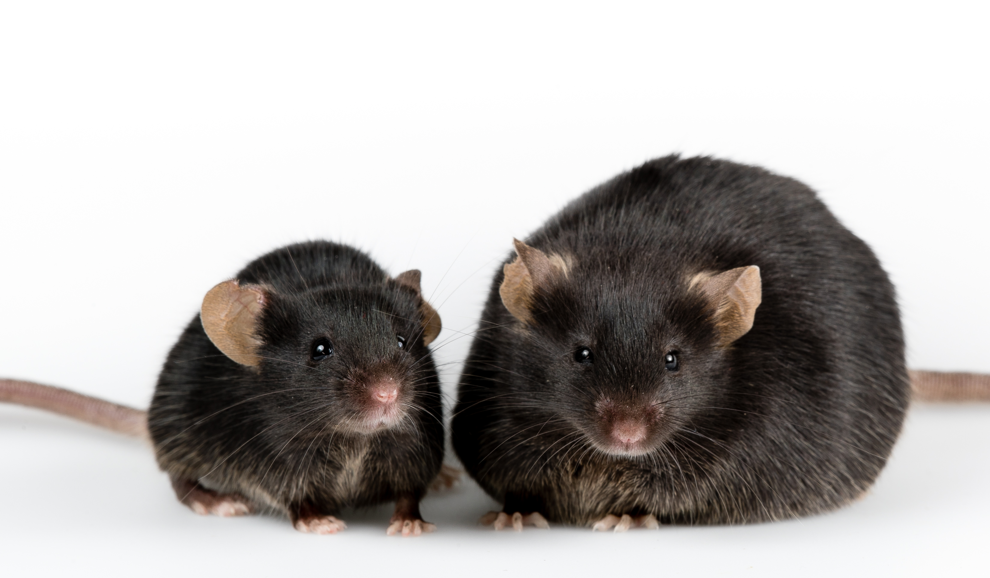 CRISPR without the Chop Reverses Genetic Obesity in Mice