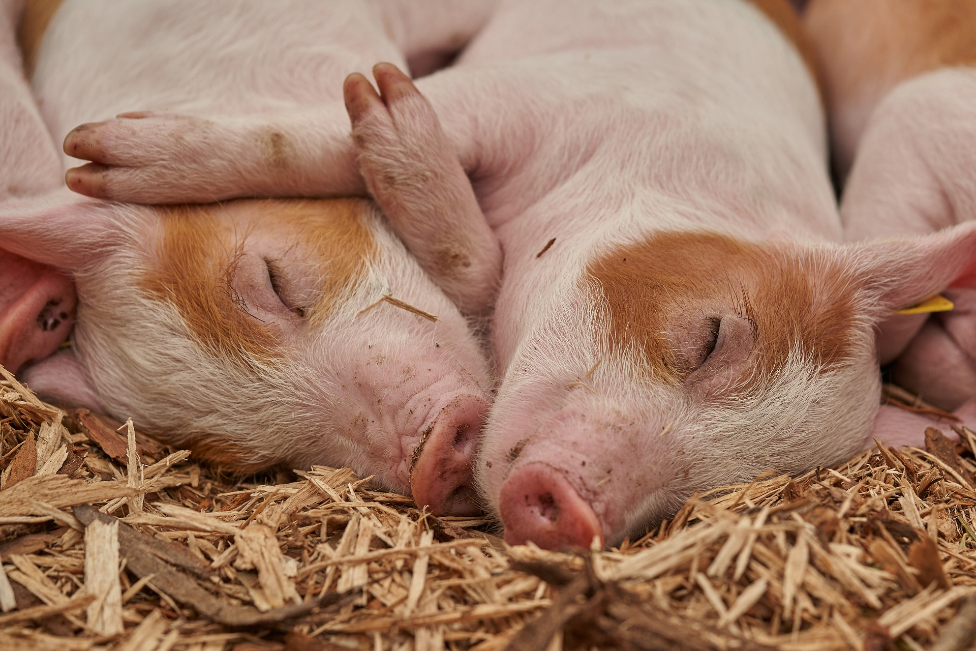 Genetically Modified Pigs May Prevent Bacon Shortages