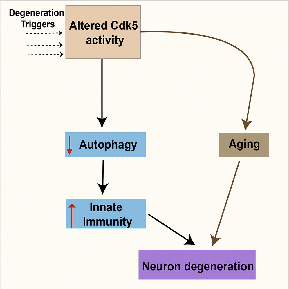 Aging Brain Graphical Abstract