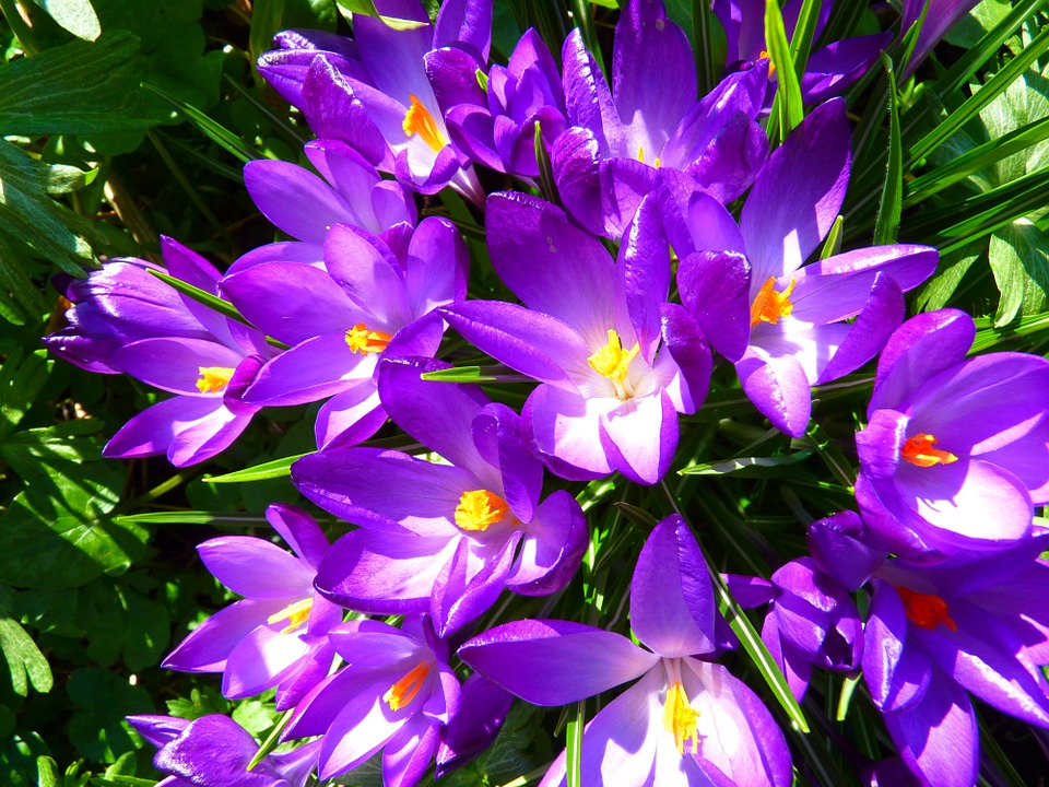 Crocus Purple Spring Flower Blossom Bloom