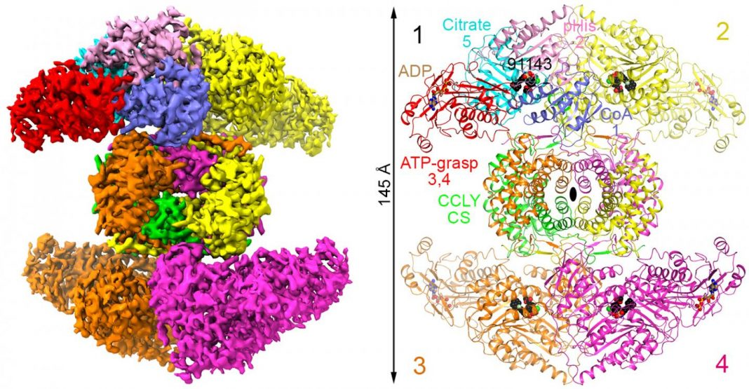 A 3D Structure of ACLY
