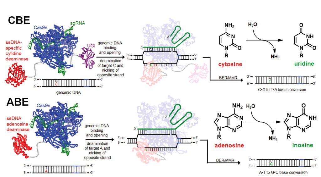 (CBE) and adenosine base editing (ABE)