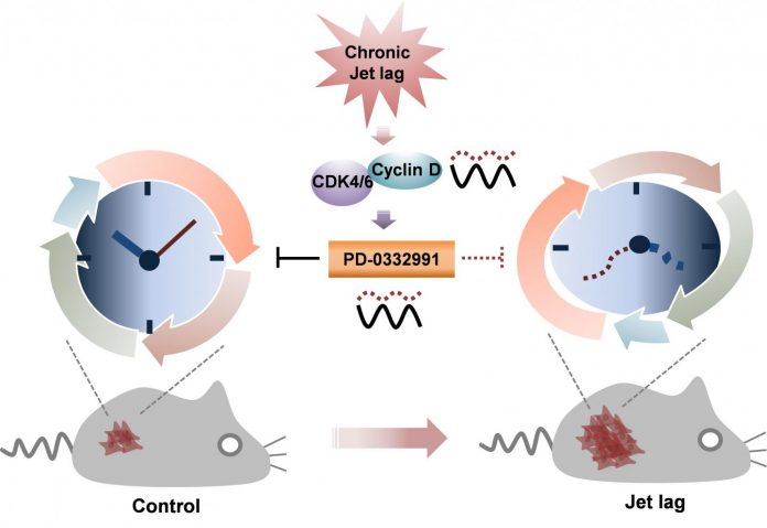 Circadian dysregulation of the cell cycle