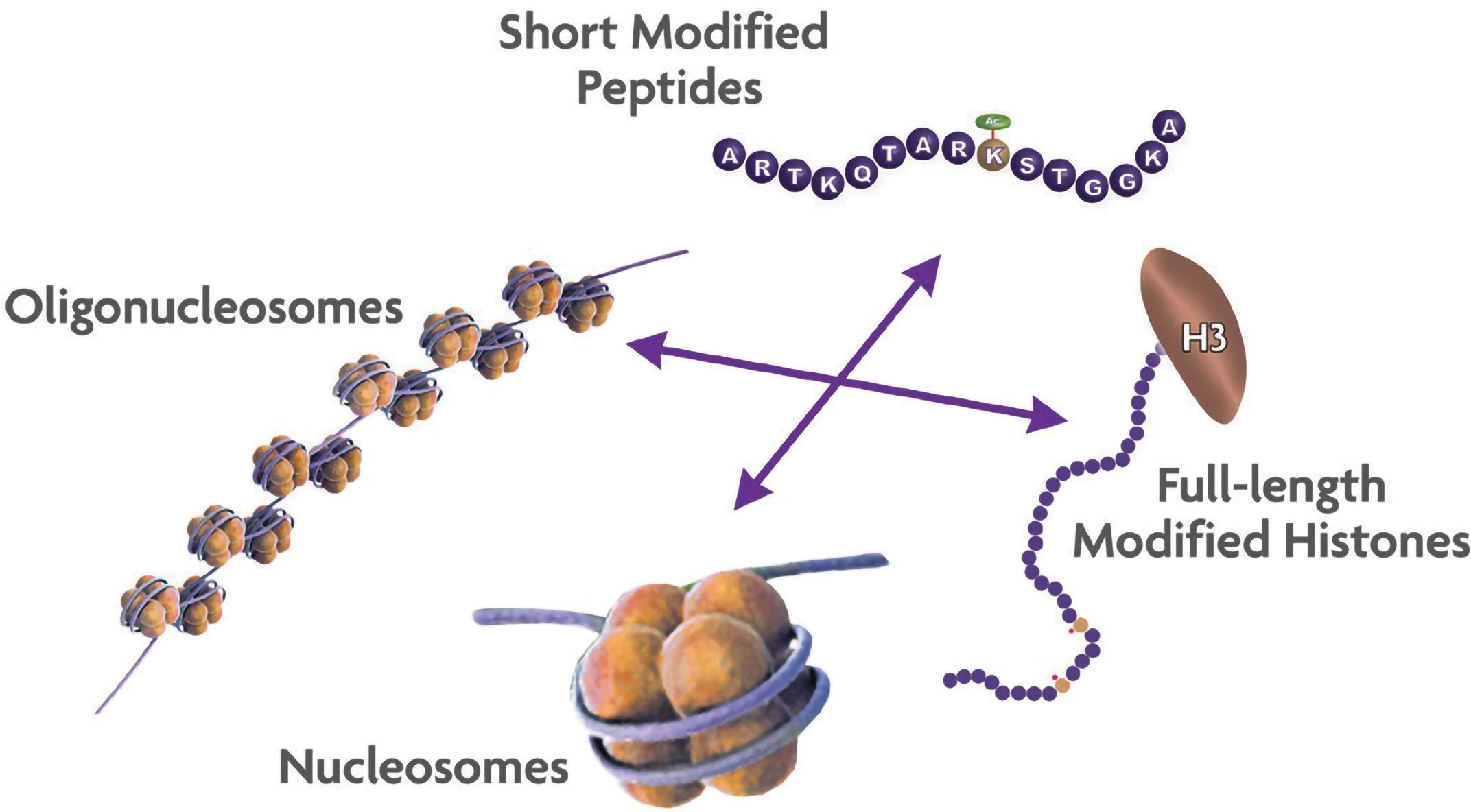 Figure 2. Which histone substrate is the best choice for your epigenetic assays?